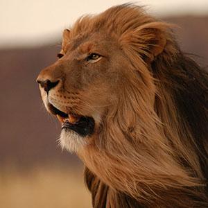草原で遠くを見つめるライオン